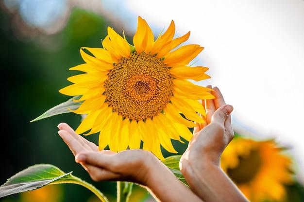 Kinderhanden in de buurt van de gele zonnebloem het concept van milieubescherming