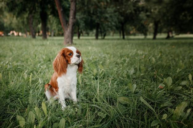 King charles spaniel pup zit in het park op het groene gras