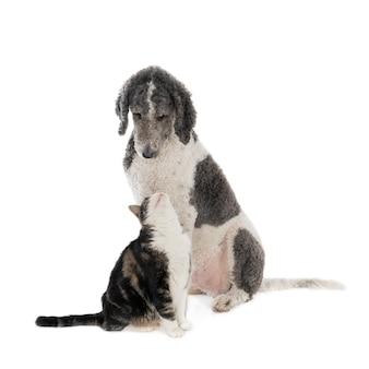 King poodle hond en huiskat in vergelijkbare kleuren die elkaar aankijken. geïsoleerd op wit.