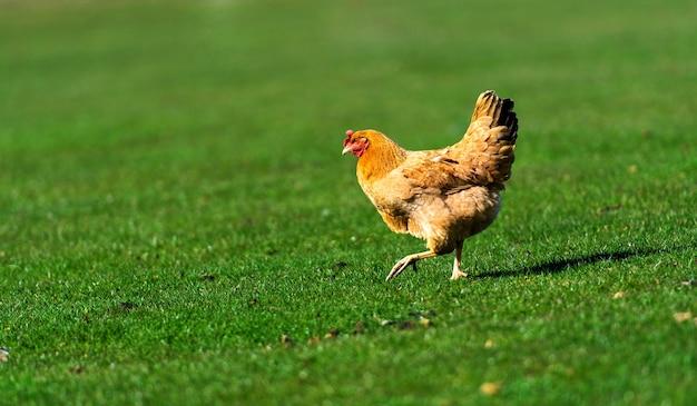 Kip en haan op een boerderij. gratis beweiding. ecologische boerderij.