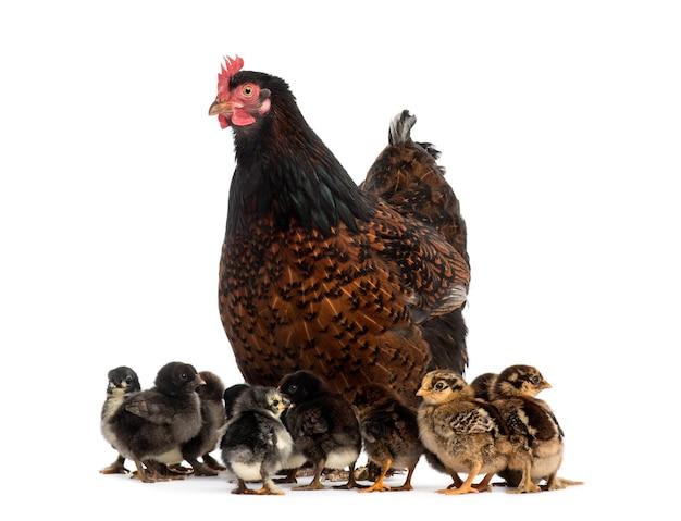 Kip en haar kuikens