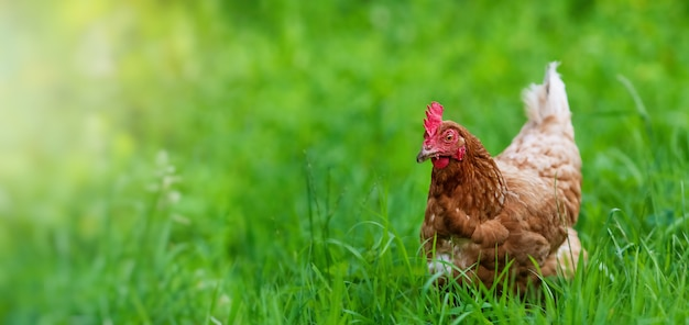 Kip in gras op een boerderij. kip op een traditionele biologische boerderij met vrije uitloop pluimvee grazen op het gras met kopie ruimte of banner.