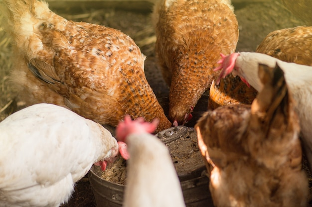Kip in kippenhok, biokippen op een huislandbouwbedrijf