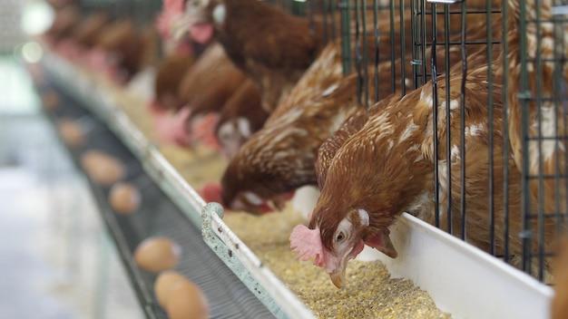 Kip, kippeneieren en kippen die voedsel in landbouwbedrijf eten.