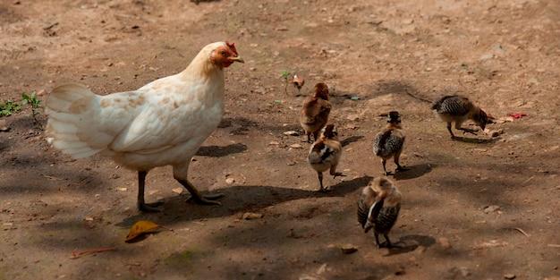 Kip met kippen in een boerderij, chiang dao, chiang mai province, thailand