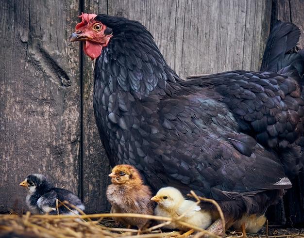 Kip met kippen op het erf.
