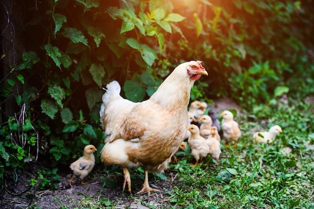 Kip op een boerderij