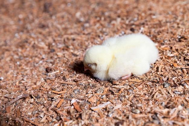 Kip op een pluimveebedrijf