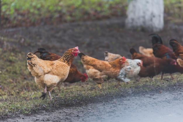 Kip op gras op boerderij