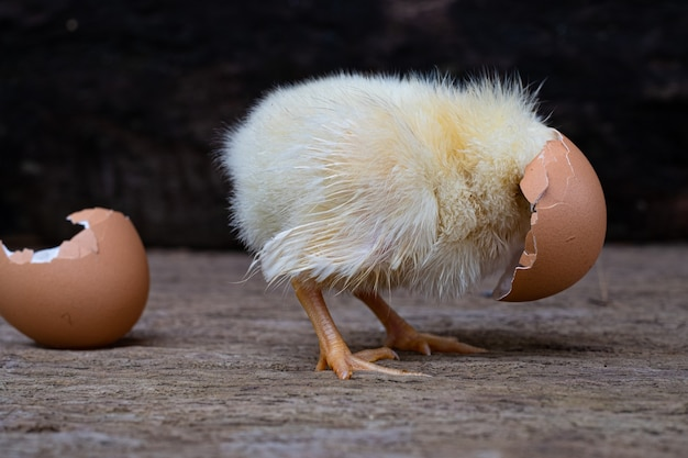 Kip uit een ei en een eierschaal op oude houten oppervlak