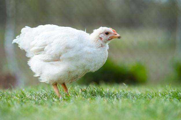 Kip voeden zich met traditionele landelijke boerenerf. close up van kip staande op schuur tuin met groen gras. vrije uitloop pluimveehouderij concept.