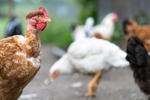 Kippen die zich voeden met traditioneel landelijk boerenerf. sluit omhoog van kip op boerenerf. vrije uitloop pluimveehouderij concept.