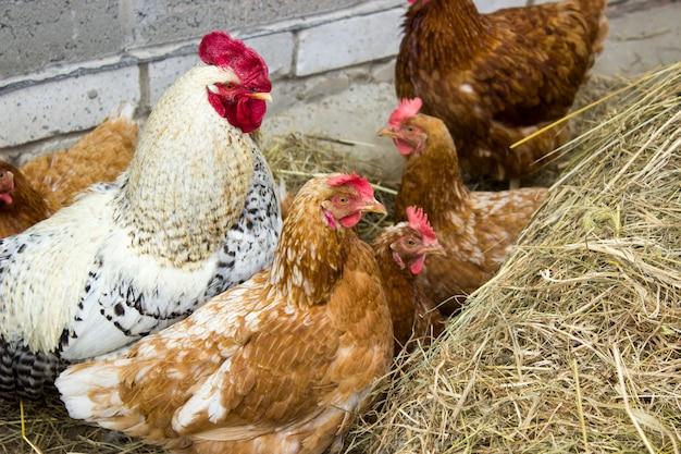 Kippen en haan gluren uit een baal hooi