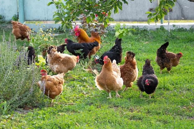 Kippen en hanen in de tuin op de boerderij grazen op het gras