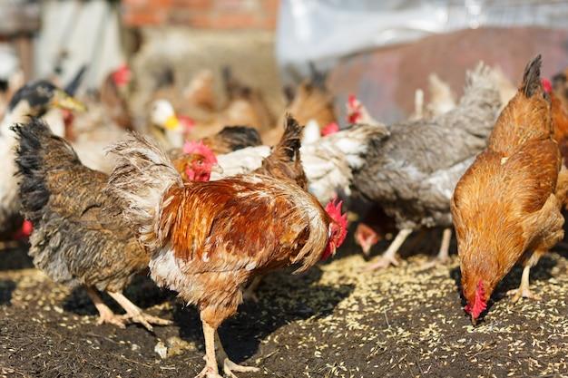 Kippen eten maïs op de boerderij