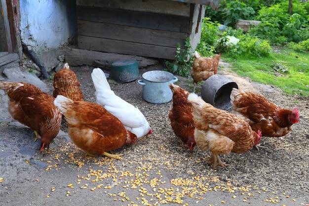 Kippen grazen in het dorp