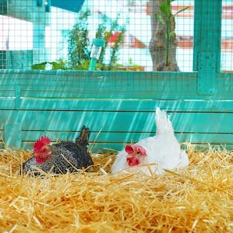Kippen in een kippen kippenhok met stro Premium Foto