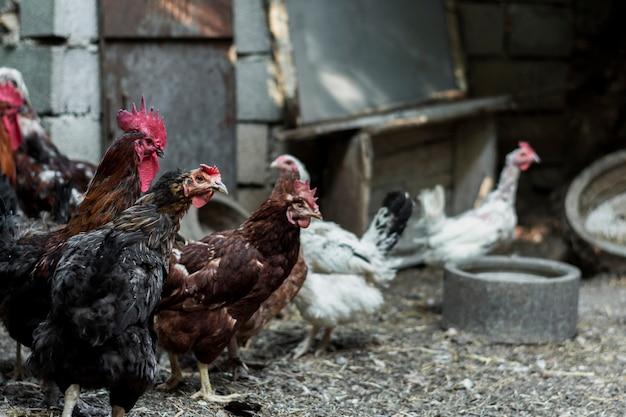 Kippen kijken agressief naar iets op het erf