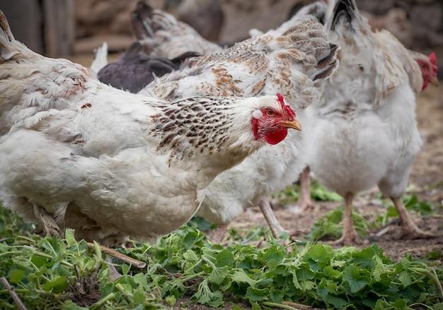 Kippen op een traditionele boerderij.