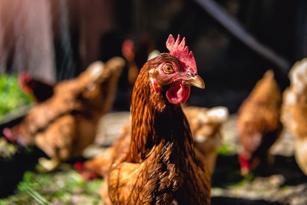 Kippen op pluimveebedrijf
