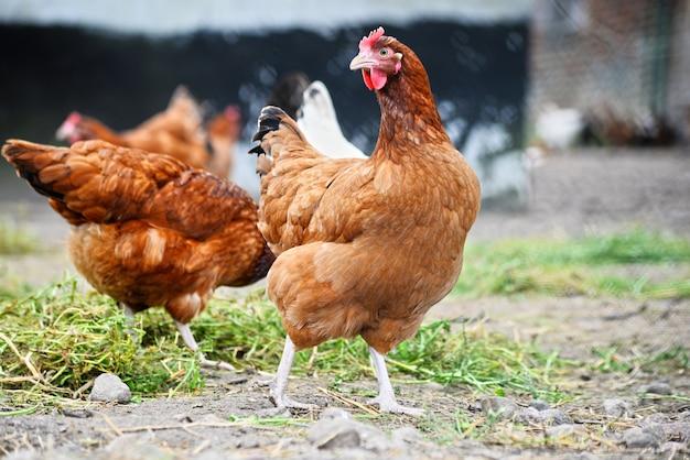 Kippen op traditionele vrije uitloop pluimveebedrijf