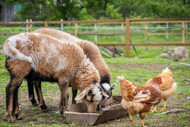 Kippen, schapen op het erf van pluimvee