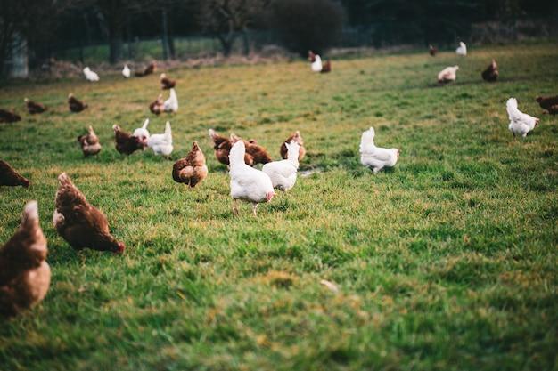Kippen van verschillende kleuren op het erf overdag