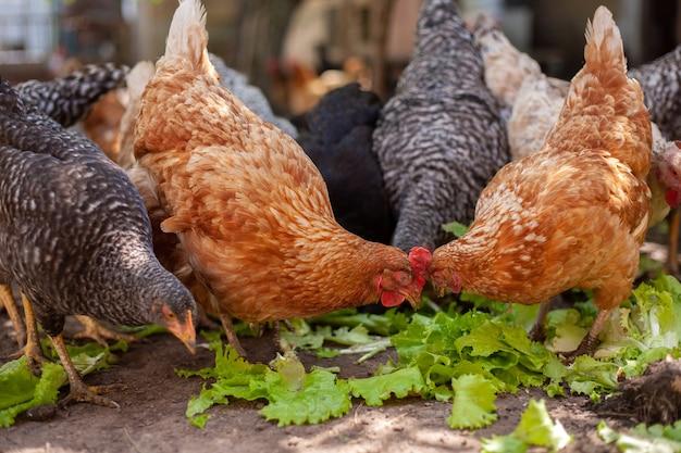 Kippen voeden op traditioneel landelijk boerenerf kippen op boerenerf in eco-boerderij