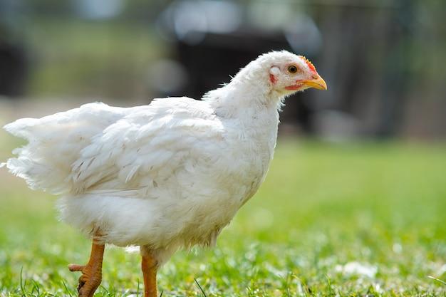 Kippen voeden zich met traditioneel landelijk boerenerf. sluit omhoog van kip die zich op schuurwerf met groen gras bevindt. vrije uitloop pluimveehouderij concept.