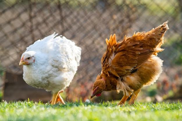 Kippen voeden zich met traditioneel landelijk boerenerf