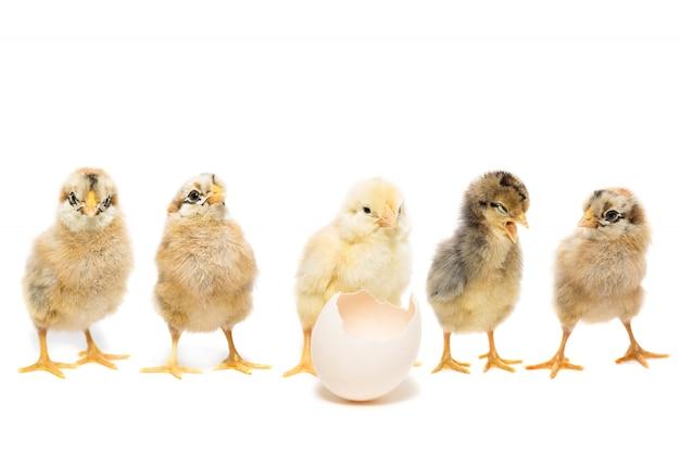 Kippenei op wit