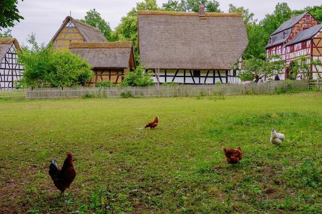 Kippenkippen op het gras in het openluchtmuseum in het dorp kommern, eifelgebied, duitsland