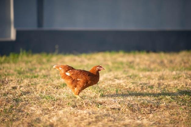 Kippenkuiken die in de tuin lopen
