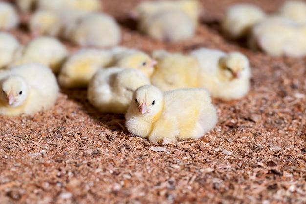 Kippenkuikens op een pluimveebedrijf waar vleeskuiken wordt grootgebracht voor vlees en andere pluimveeproducten, jonge vleeskuikens