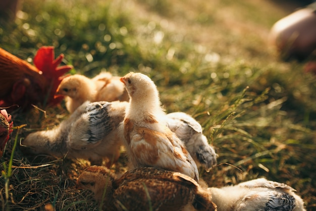 Kippenkuikens. pluimvee boerderij