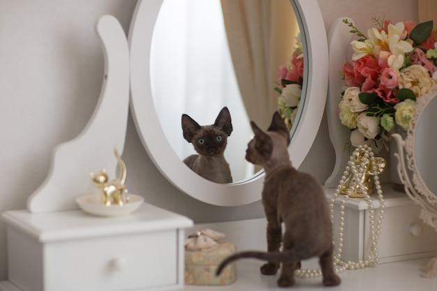 Kitten devonrex kijkt in de spiegel en ziet zijn spiegelbeeld