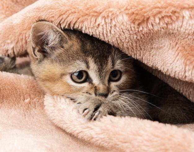 Kitten golden ticked british chinchilla straight, close-up