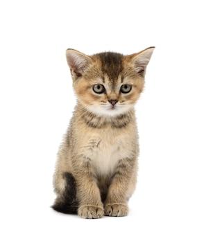 Kitten golden ticked british chinchilla straight zit vooraan op een witte geïsoleerde achtergrond. kat kijkt naar de camera