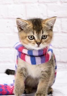 Kitten gouden aangevinkte britse chinchilla rechtstreeks op een witte achtergrond. de kat staat in een gebreide sjaal
