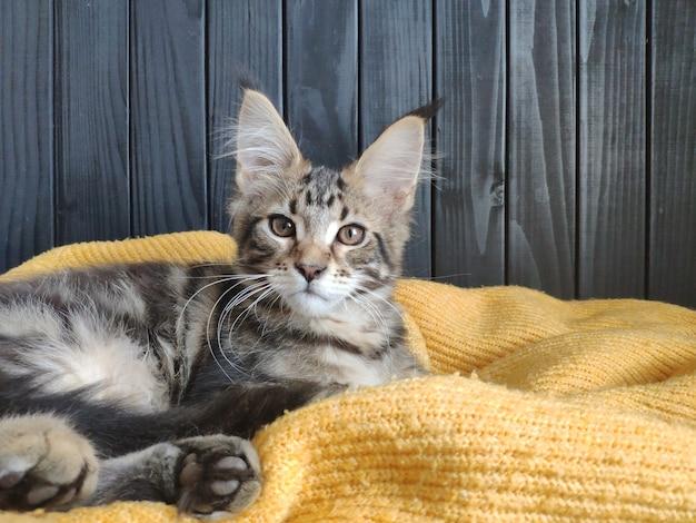 Kitten ligt op een gele trui tegen een zwarte muur