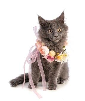 Kitten maine coon met roze bloemen op witte achtergrond