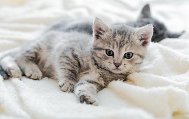 Kitten ontspannen ligt op een witte zachte deken in een gezellig huis op een witte zachte deken. lange webbanner.