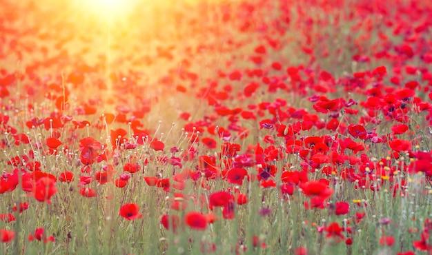 Klaprozen veld met zon