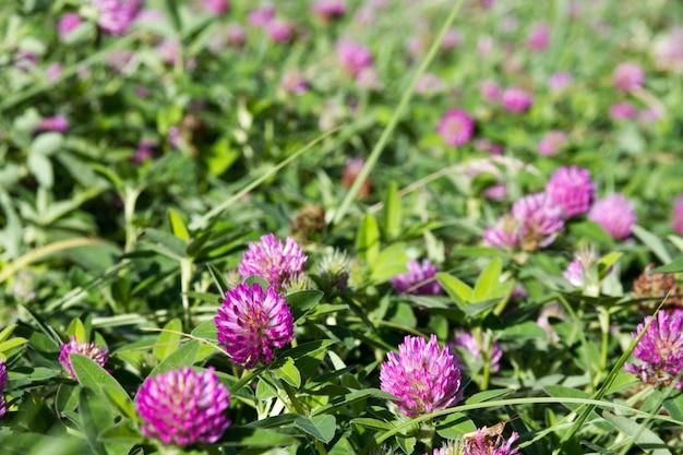 Klaver bloemen op wazig klaver veld achtergrond