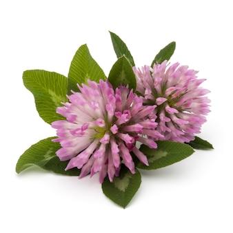 Klaver of klaverblad bloem geneeskrachtige kruiden geïsoleerd op een witte achtergrond knipsel