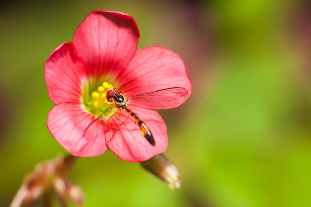 Klavertje vier bloem klaverblad trifolium met kleine mug diptera