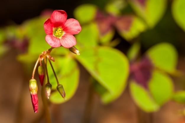 Klavertje vier bloem klaverblad trifolium