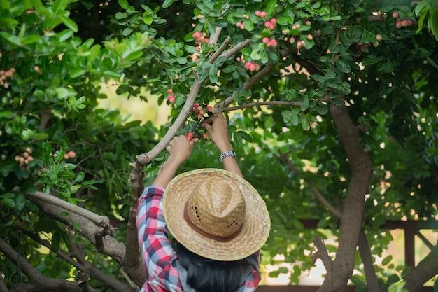 Klein familiebedrijf. gelukkig lachend vrolijk vrouwtje met overall en een strooien hoed van boerderijjurk, het selecteren van de maat mango gapende limoen klaar voor verkoop. met een hoog ijzergehalte en vitamine c.