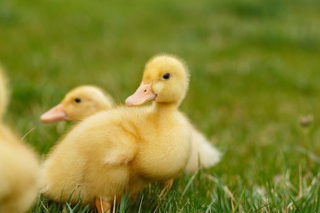 Klein geel eendje twee op groen gras,