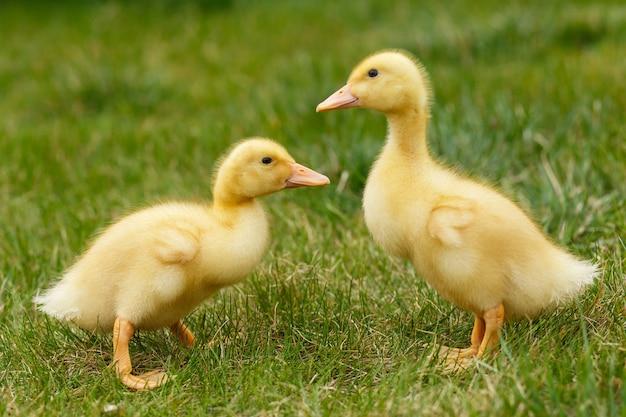 Klein geel eendje twee op groen gras.